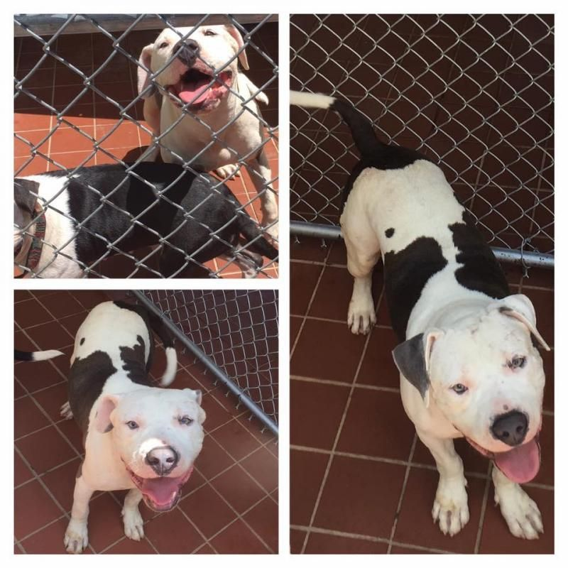 Adopt Chewy On Pitbull Terrier Pets American Bulldog Mix