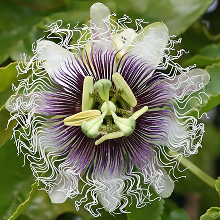 Passion Flower Passiflora Edulis Frederick Edible Fruit Passion Flower Flowers Passion Flower Plant
