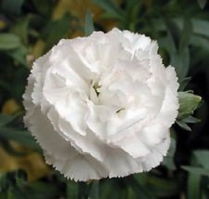White Grenadin Carnation Flower Seeds Dianthus Biennial 30 Etsy In 2020 Flower Seed Gifts Carnation Flower Flower Seeds