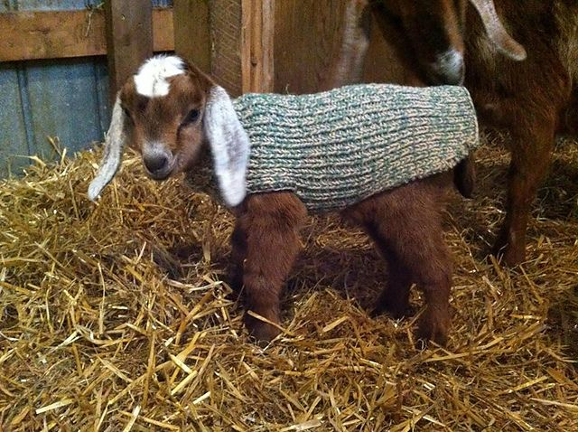 Ravelry Scrappytbear S Baby Goat Sweater Free Knitting
