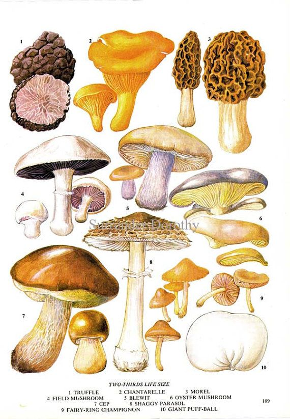 Edible mushrooms wild vegetable food chart by surrenderdorothy also botanical lithograph rh za pinterest