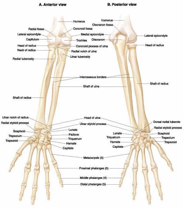 Ovid: Lippincott Williams & Wilkins Atlas of Anatomy ...  Upper Extremity Bones Unlabeled