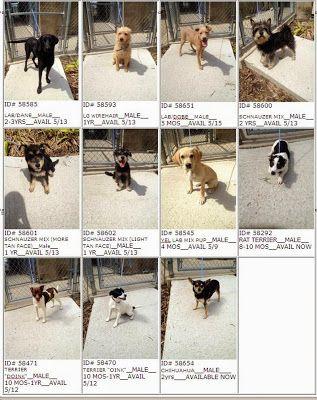 Lafayette La Urgent Avail 5 13 Rescue Only Dogs Boston Terrier
