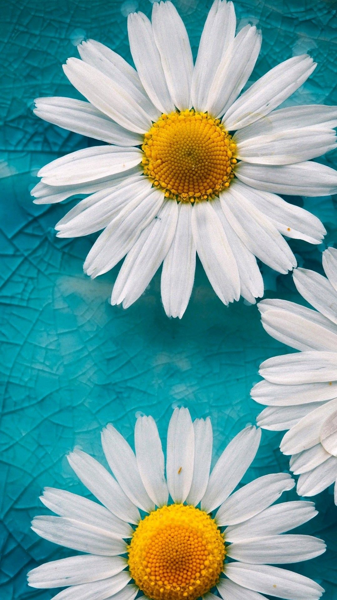 Pin by Marilyn Betancourt on Hd wallpapers Daisy