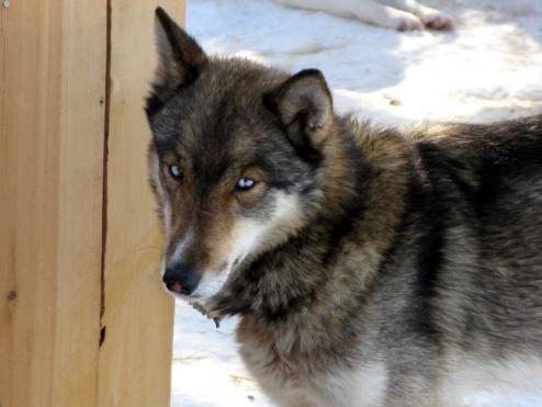 Wolf Grey Siberian Husky