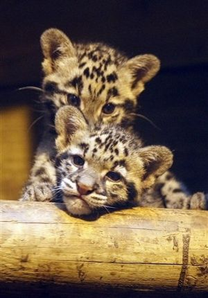 A Paris zoo announced the birth of two rare Southeast Asian clouded leopards named Pati and Jaya. The clouded snow leopard is exceedingly rare and hard to breed in captivity.