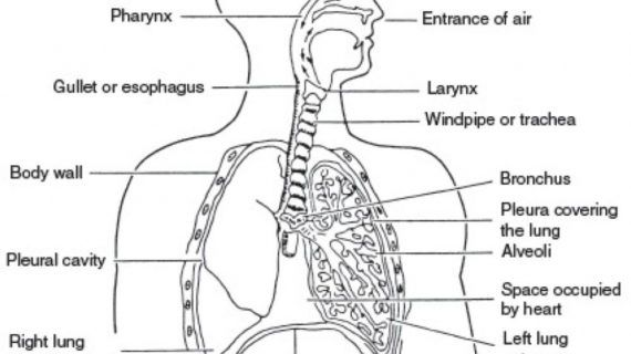 Respiratory System Not Labeled Black And White Respiratory System