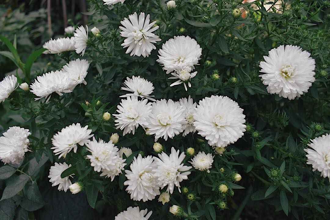 Watch The Best Youtube Videos Online White Chrysanthemums I Dont Know What It Called Whitecrysanthe White Chrysanthemum Gardens By The Bay Crysanthemum