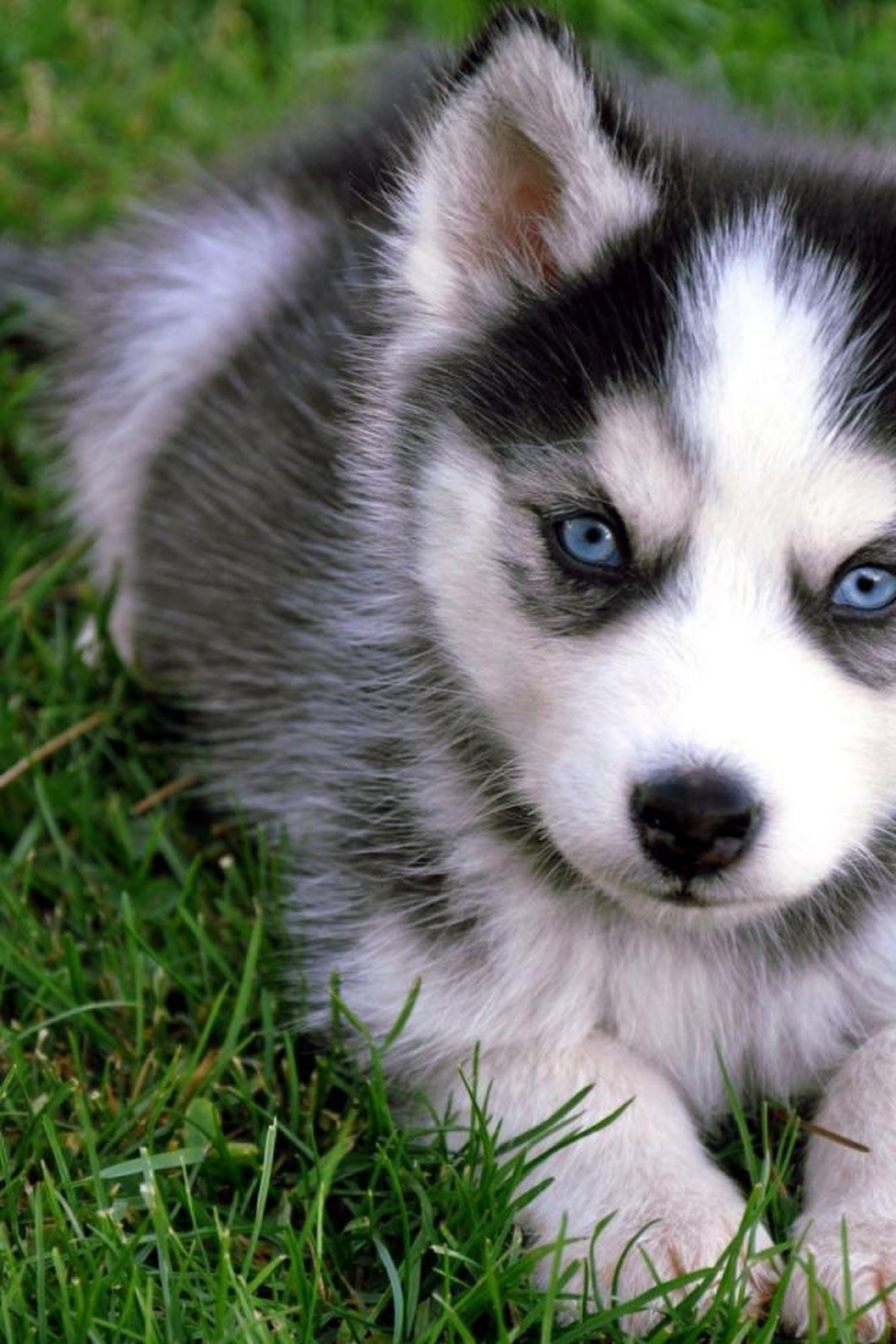 Siberian Husky One Friendly And Playful Dog Puppies With Blue