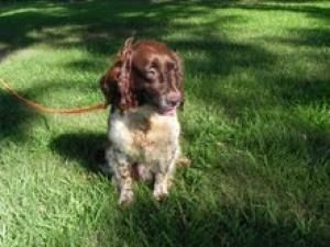 Adopt Lady On Springer Spaniel Puppies Pet Id English Springer