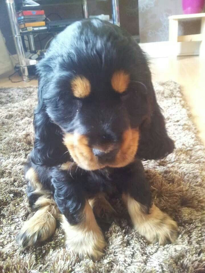 Baby Cocker Spaniel Black And Tan Spaniel Puppies Cocker