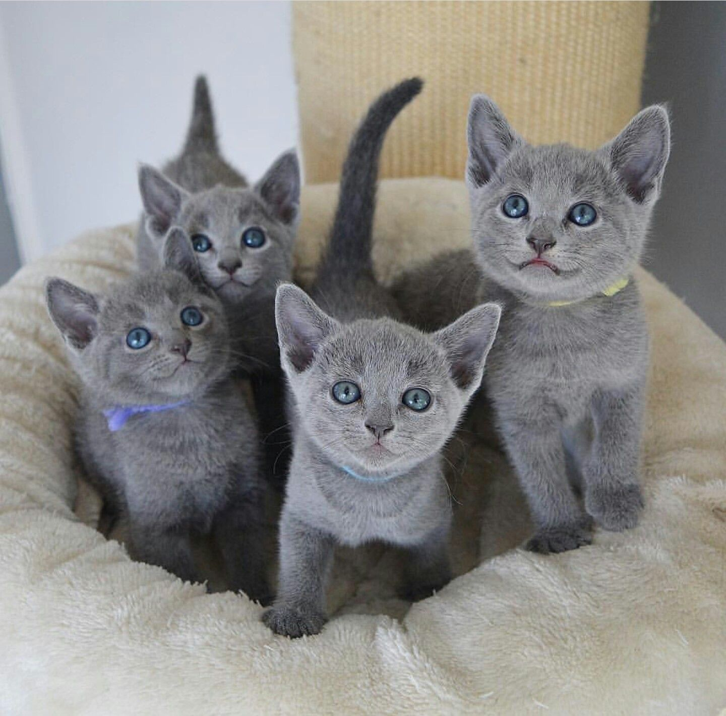 Pin by Sharon on russian blue cat Cute cats, Kittens