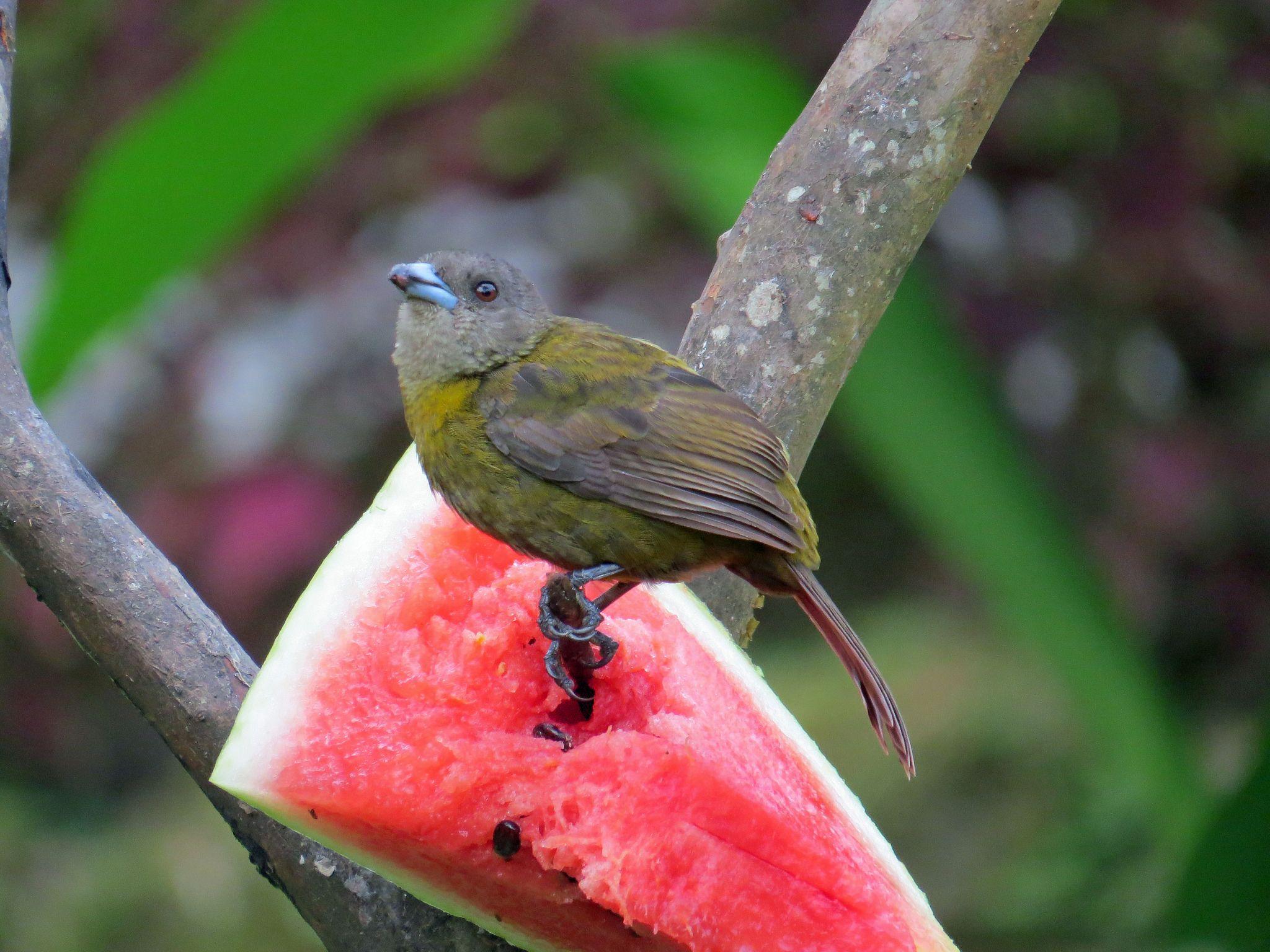 Passerini's Tanager (Ramphocelus passerinii)