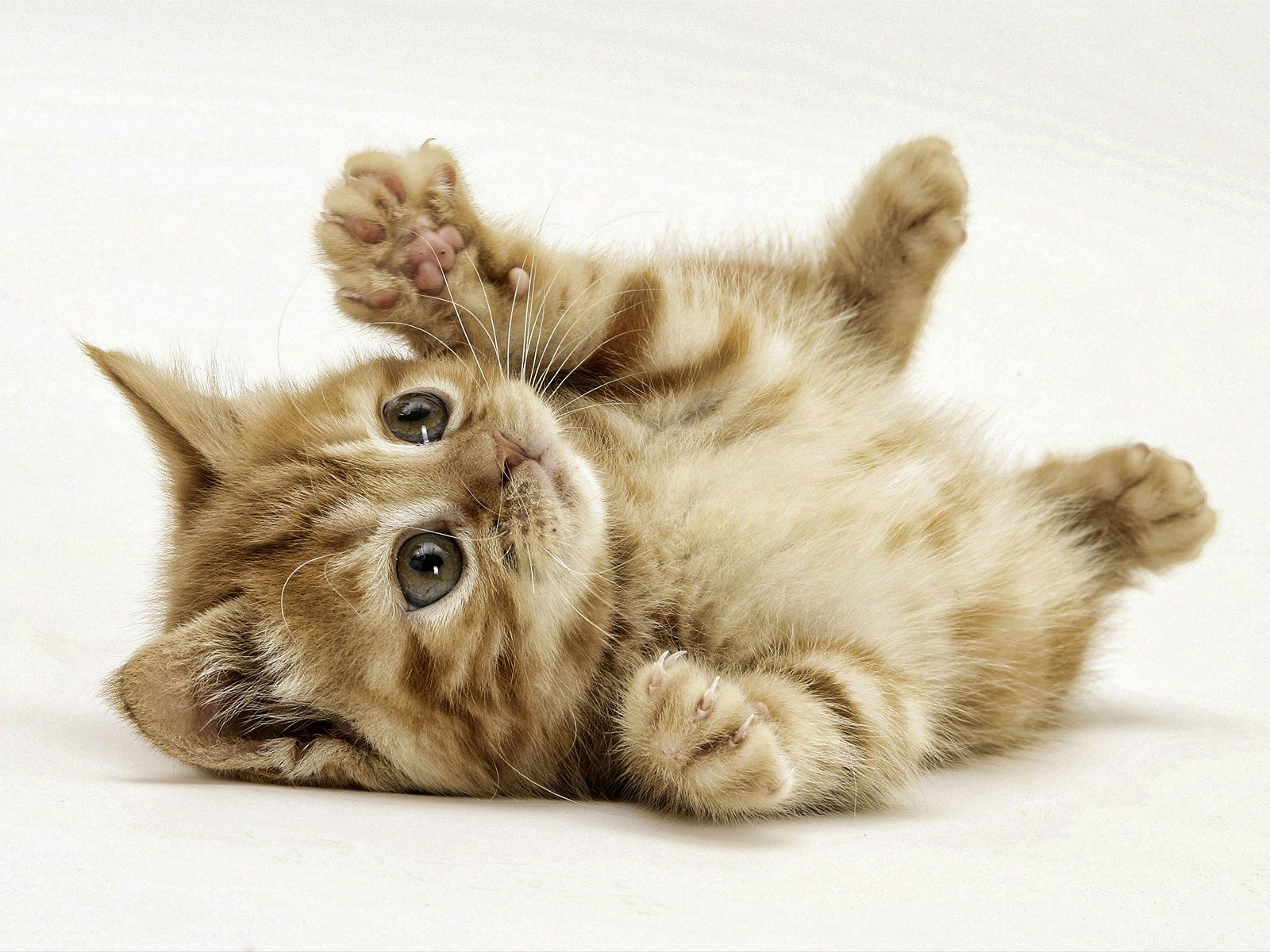 Pin By Emily Fields On Cicak Cats Kittens Cutest Cute Animals Kittens And Puppies
