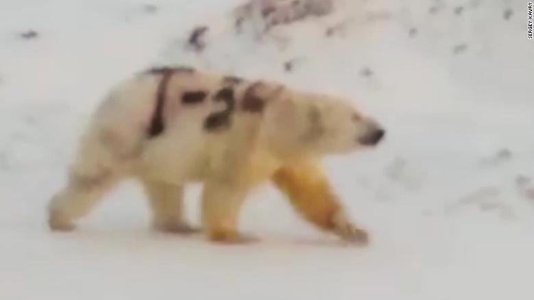Survival fears for polar bear spray-painted with graffiti