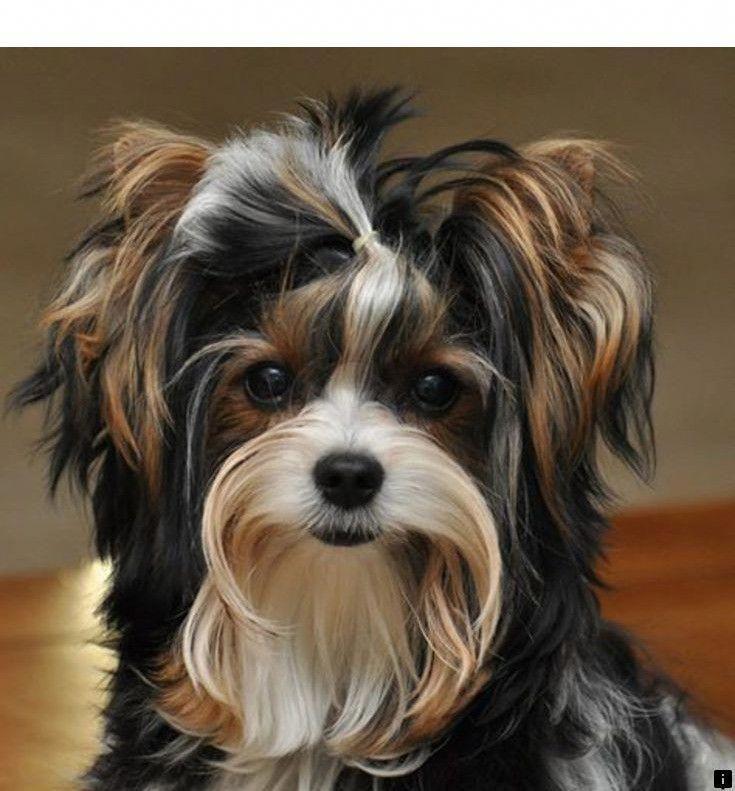 Alle dingen die ik aanbid over de Poodle Pups #poodleswag #poodleblack #PoodlePup ...   - Biewer yorkie #dieren #animals #tiere