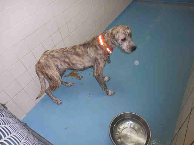 Catahoula Leopard Dog Dog For Adoption In Lufkin Tx Adn 419779