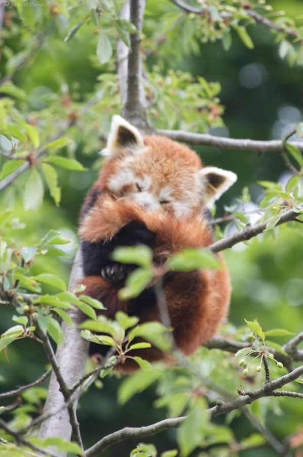 Red Panda - my favorite animal!!