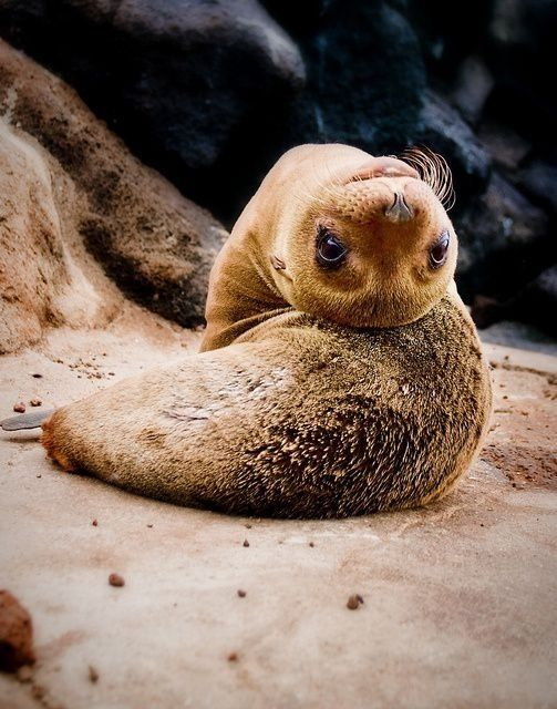 Seal pups that will make you want to rip your hair out with cuteness baby galapagos sea lion hello how you doin why are you upside down and hanging on the ground like a bat publicscrutiny Images