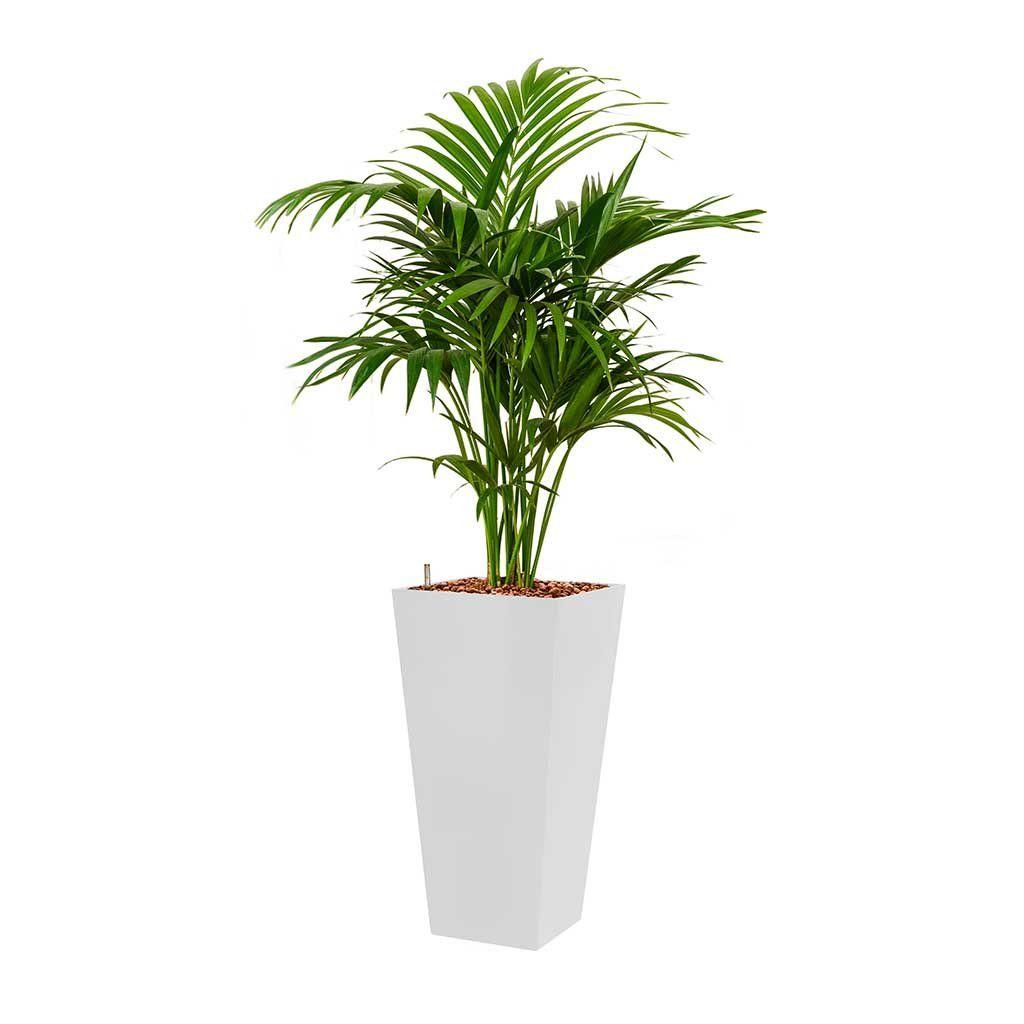 Kentia Palm Hydroculture Square Runner Planter