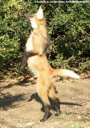 Pix For Wolf Standing On Hind Legs Wolves Maned Wolf Wolf