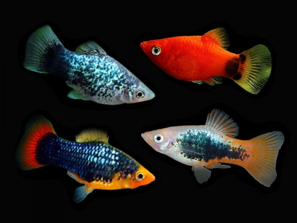 Assorted Platies Place Your Order At Https Fishplace Eu Product Assorted Platies Price Starts From 0 50 Tropical Fish Aquarium Tropical Freshwater Fish Fish