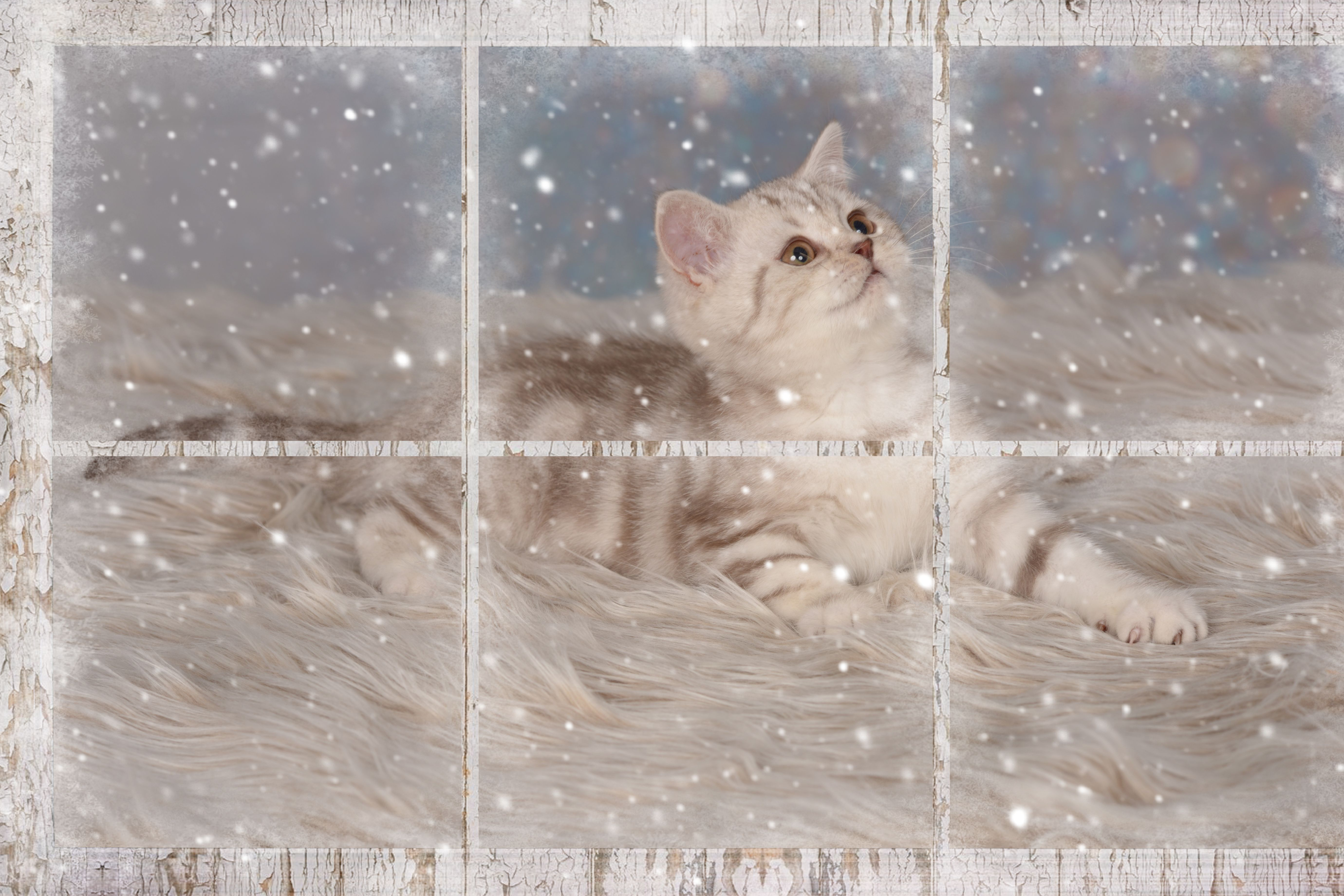 Bkh Kitten Chocolate Silver Classic Tabby With Images Animals And Pets Cats And Kittens Kittens