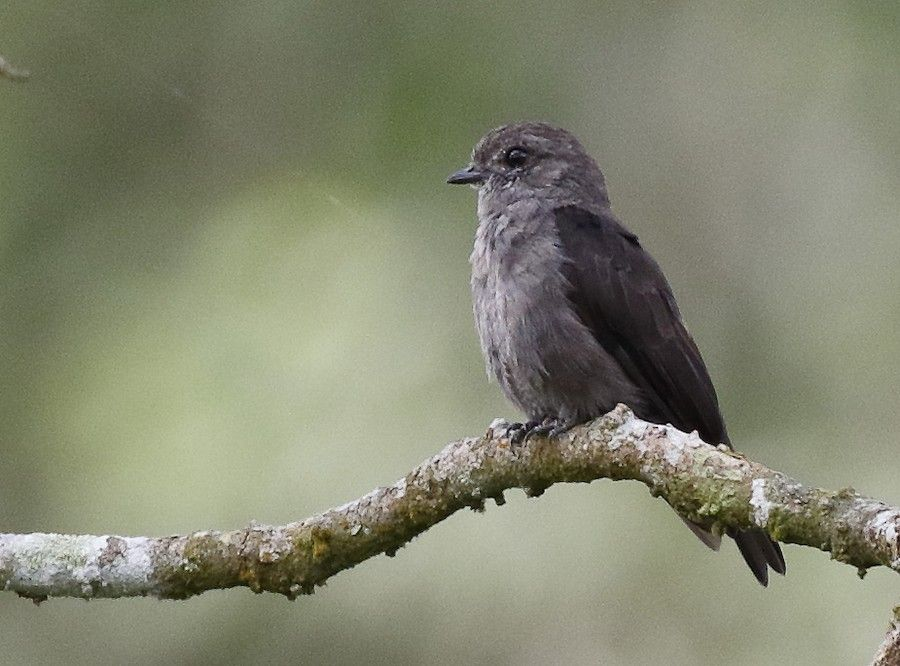 Ussher's Flycatcher