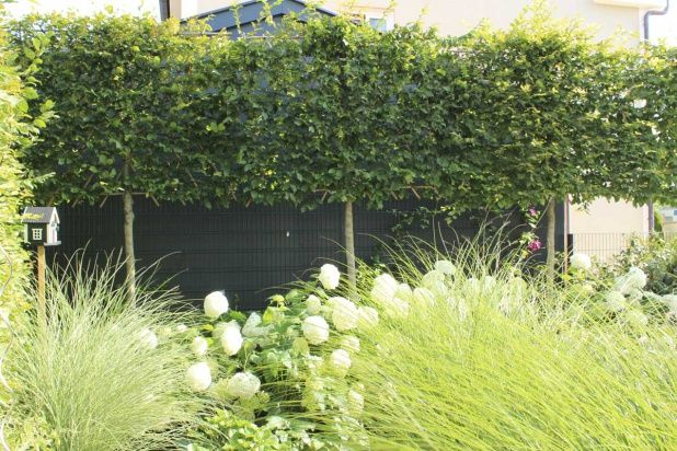 Die hainbuche als hochstammspalier hecke verdeckt die for Pflanzengestaltung garten