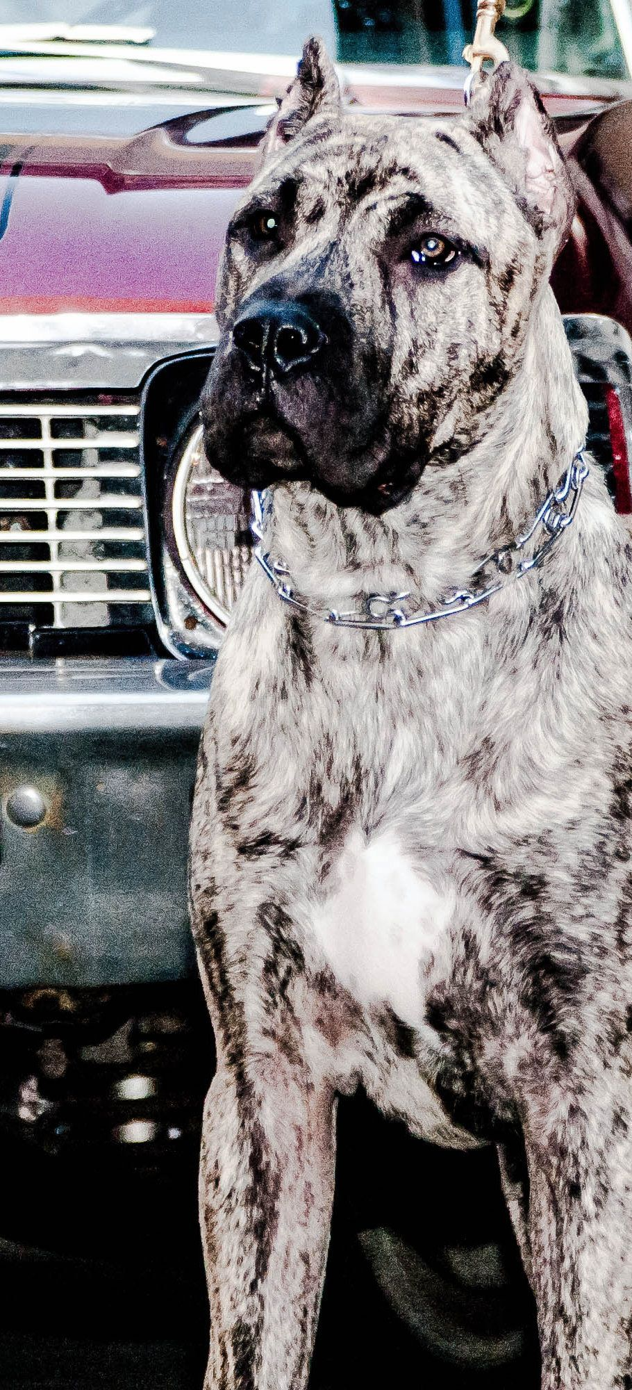 Conquistador K 9 Presa Canario Puppies For Sale Dog Breeds