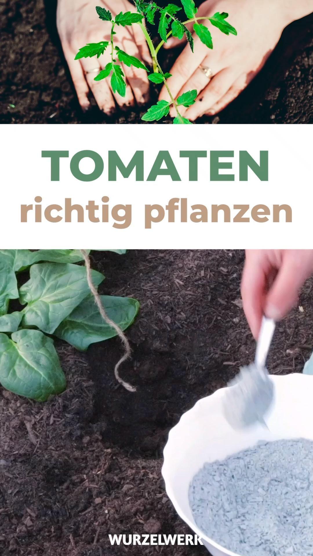 Die Beste Art Tomaten Zu Pflanzen Die Komplette Anleitung Deine Tomatenpflanzen Sind Gross Genug Um Sie Im In 2020 Tomaten Pflanzen Pflanzen Gewachshaus Pflanzen