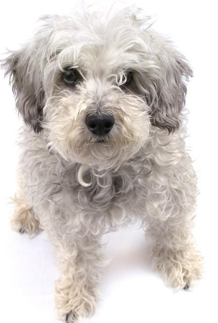 White Schnoodle Dog Schnoodle Dog Schnoodle Schnauzer