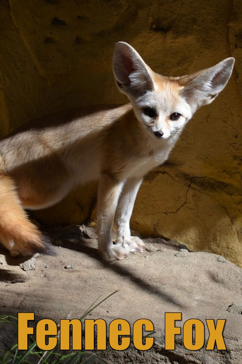 Fennec Fox Facts, Pictures & Information African Desert