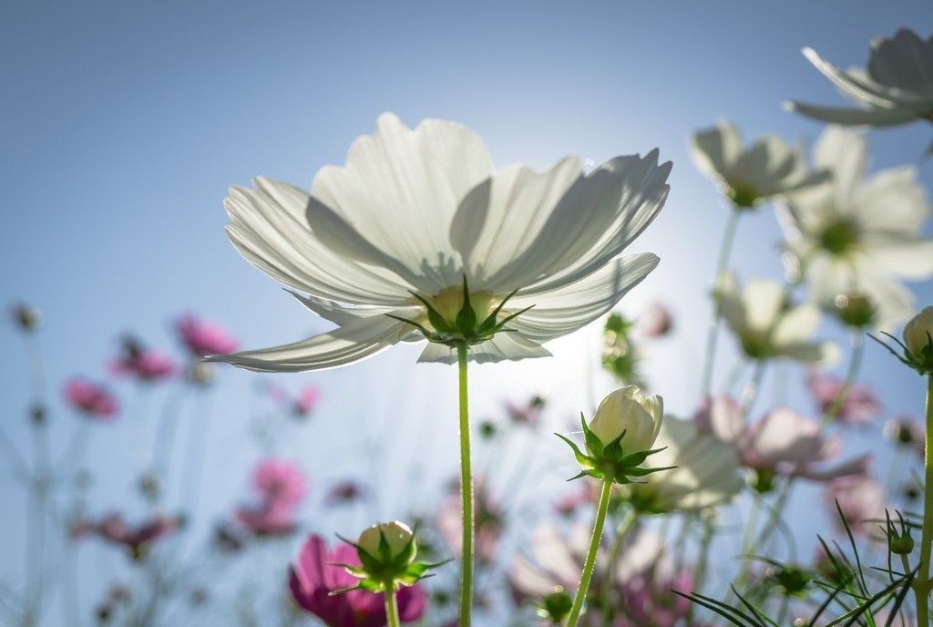 Cosmos Plants Flowers Sunny Day Meadow 4k Wallpaper Purple Flowers Wallpaper Flowers Pink Flowers Wallpaper
