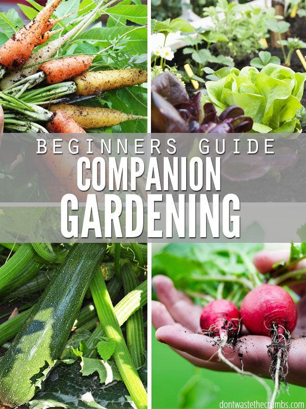 Companion Gardening Beginners Guide Companion Gardening Tomato