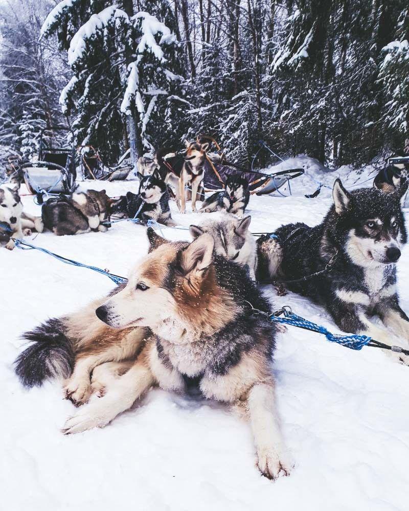 Husky Sledding In Finnish Lapland With Kota Husky Dogs Alaskan