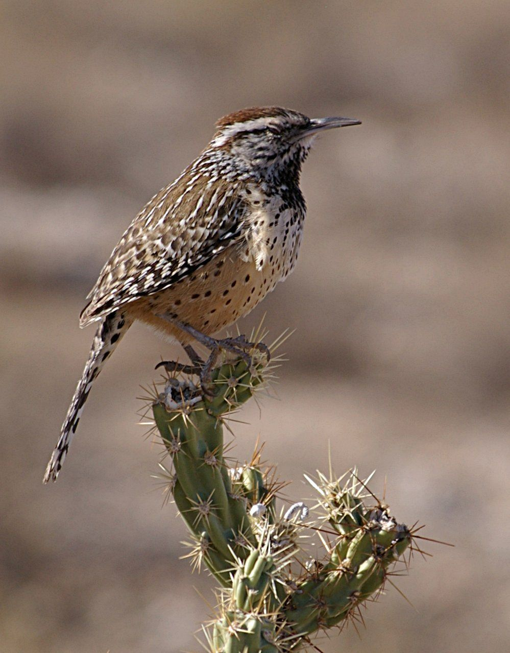 Carriça / The state bird of Arizona is the cactus wren officially ...