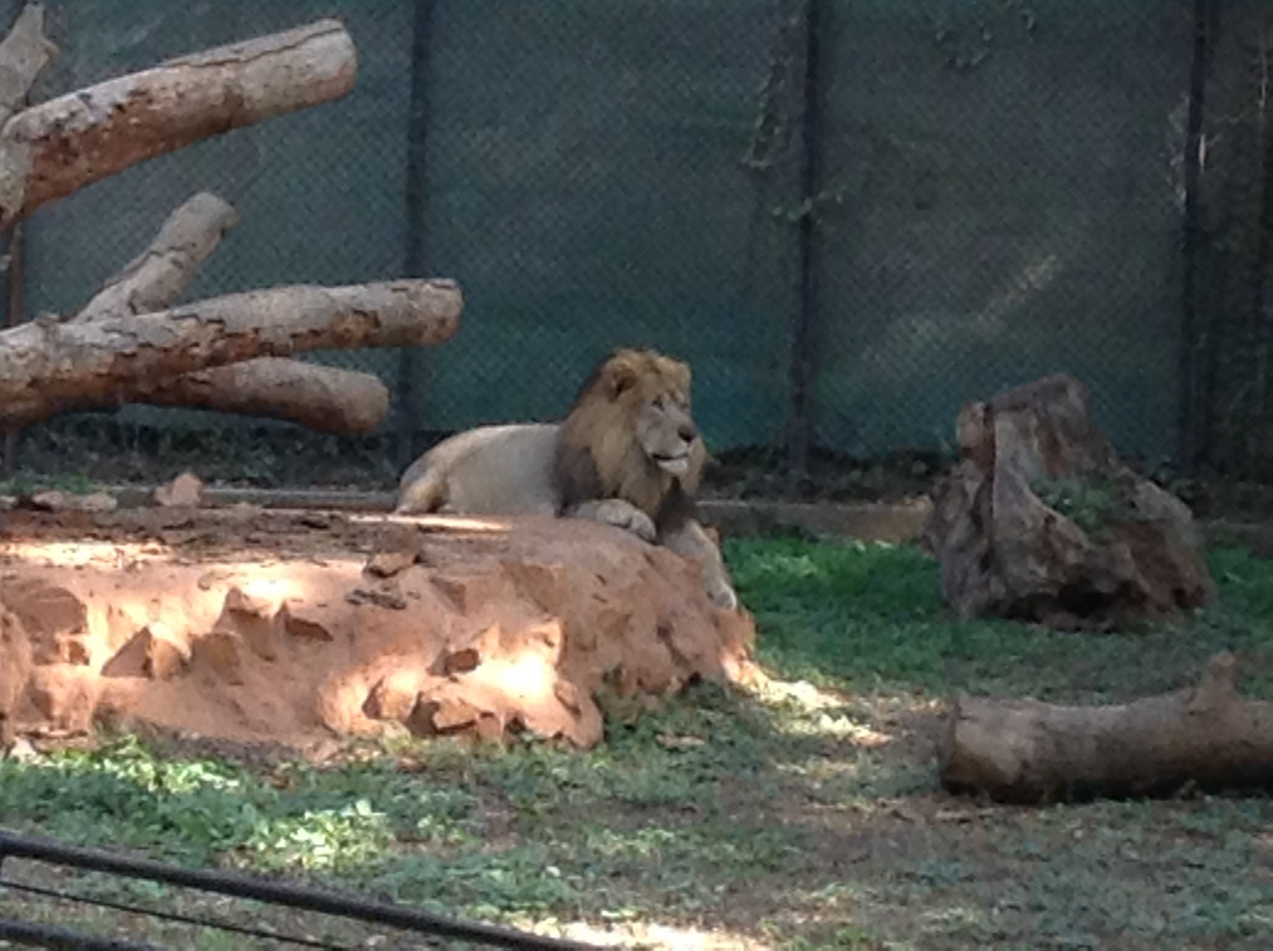 King Of The Jungle 1 Mysore Zoo Officially The Sri Chamarajendra Zoological Gardens Mysore Zoo Zoological Garden Zoo