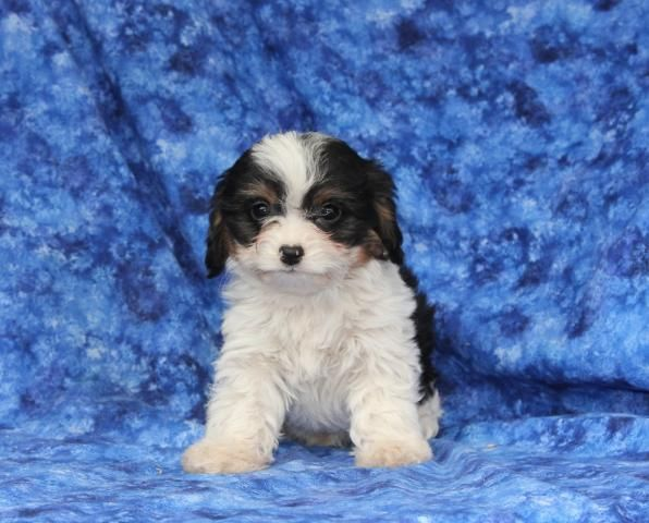 Cavapoo Puppy for Sale Cavapoo puppies for sale, Puppies