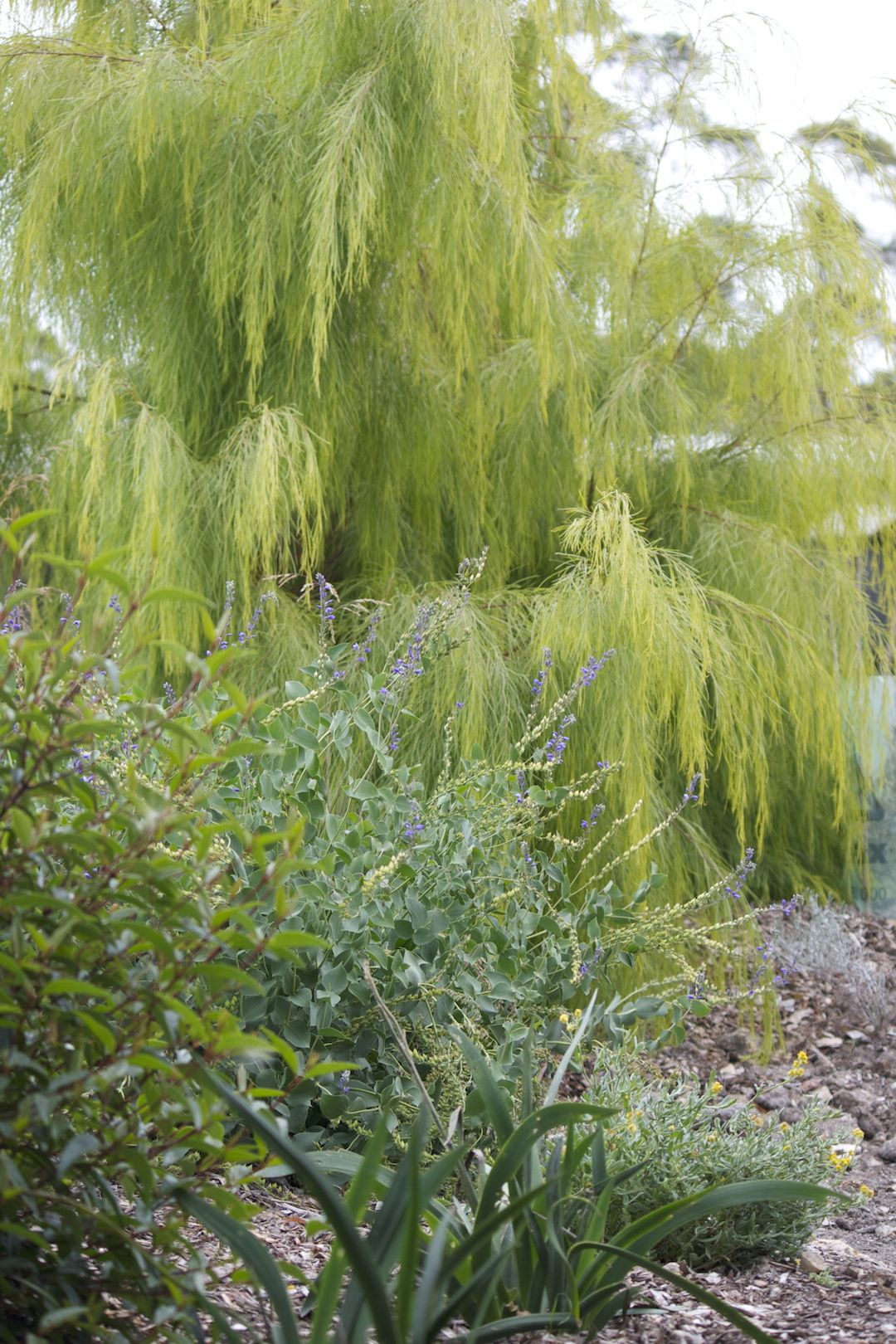 Acacia 'Lime Magik' - great tree for children to scramble under