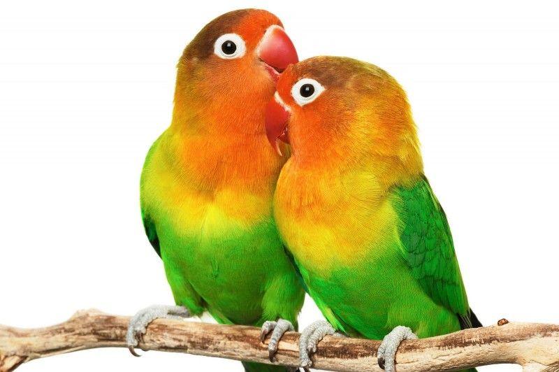 Lovebird Birdsip Burung Binatang Burung Cantik