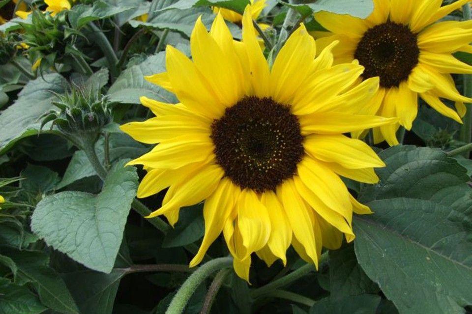Helianthus Annuus Choco Sun Sun Plants Plants Planting Sunflowers