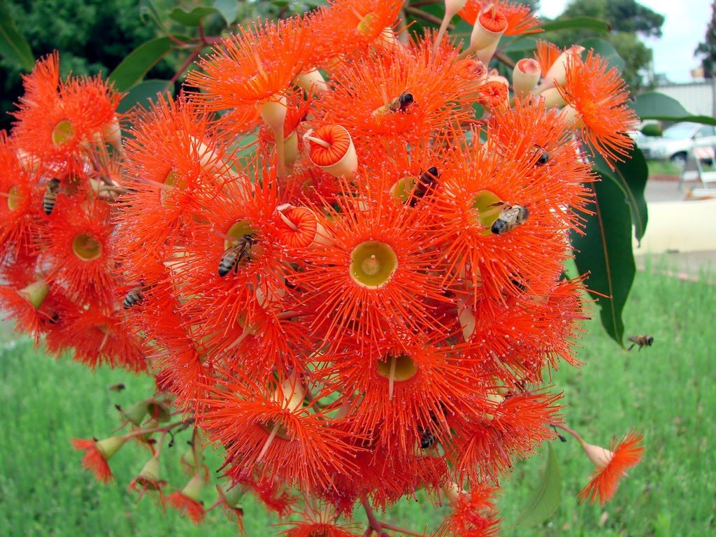 Eucalyptus ficifolia = honeybee magnet. | Eucalyptus | Pinterest ...