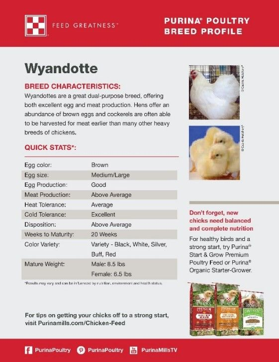 Featured chicken breed: Wyandotte Looking for a great dual