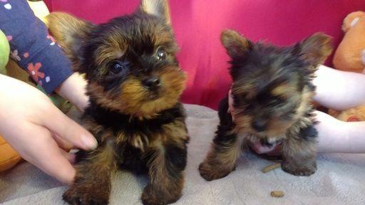 Litter Of 2 Yorkshire Terrier Puppies For Sale In Ellijay Ga Adn