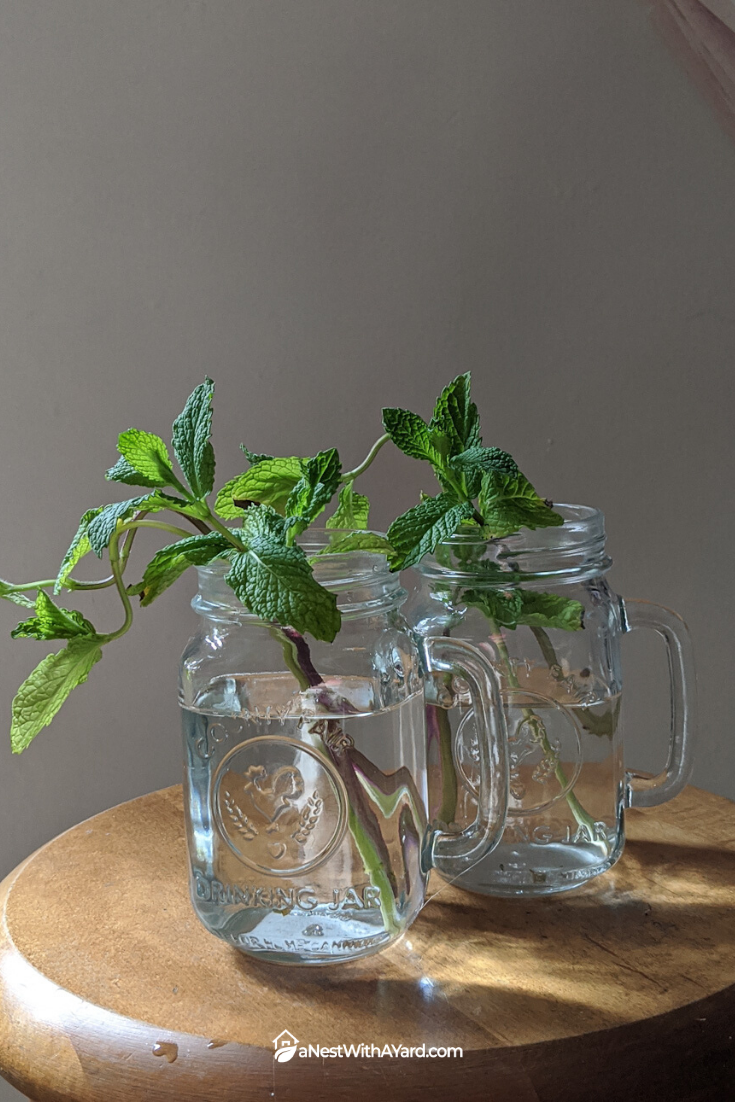 How To Grow Mint Indoors In Soil Or Water In 2020 Growing Mint Indoors Growing Mint Mint Plants