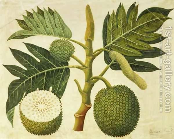 Breadfruit Botanical Illustration Tree Illustration Botanical