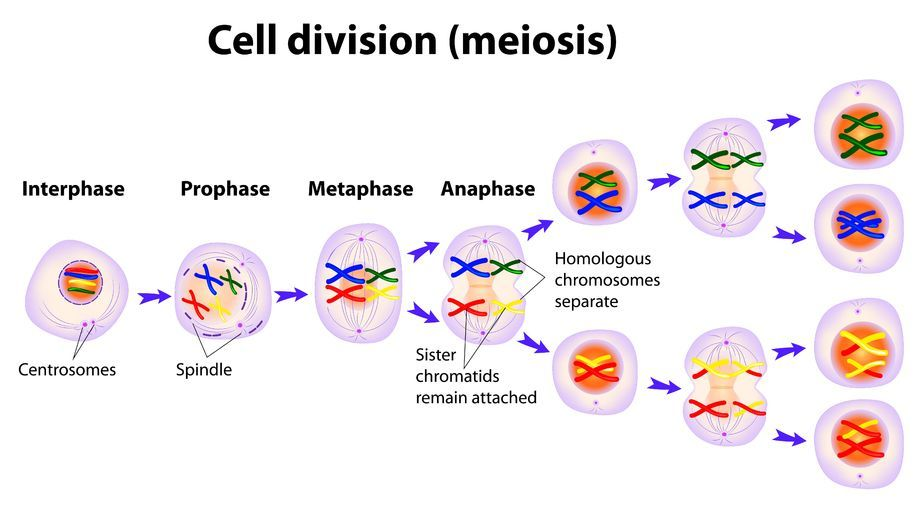 The Process of Meiosis | Teaching | Biology classroom, Teaching biology, Teaching science