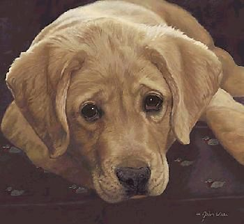 Best Loved Breeds Yellow Labrador By John Weiss Animals In 2019 Dogs Labrador Retriever Labrador