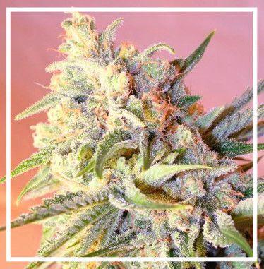 Buy colorado marijuana seeds helping hands boulder for Ganja rebel seeds